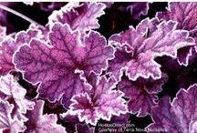 Heuchera - my new fav shade plant
