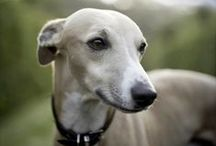 Whippet's World / All about Whippets! :) Every Whippet breed fan is very wellcome here, If you want to get an invitation to this board just RE-PIN ANY of the T-SHIRTS and you'll get invited in 24 hours. ;)