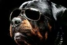 Rottweiler's World / All about Rottweilers, the amazing dog. If you want to get an invitation to this board just RE-PIN ANY of the T-SHIRTS and you'll get invited in 24 hours. ;)