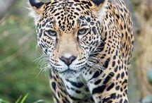 Wild Cats / tiger