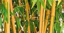 Bambus / Bambus - Sichtschutz, Deko, Pflanzen, Vermehren, Schneiden und Pflegen - bei Mein Schöner Garten erfahren Sie wie es geht. Durchstöbern Sie die Pinnwand und finden Sie Inspiration für den Balkon oder die Gartengestaltung.
