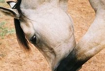 Animals - Horses, horses and more horses / by SHARON ADAMS                                                                    (oppman)