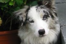 Border Collie Of The Saint's Shepherd - my dogs / Choban, my soulmate with her kids Aran and Angel.