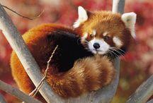 Panda Rosso - Red Panda / Foto ed informazioni sul Panda minore