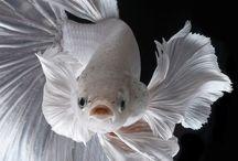 """Betta splendens fighting fish / Fotografie del bellissimo pesce combattente """" Betta Splendens """""""