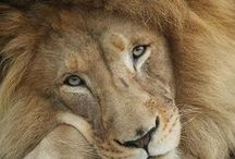"""""""THE KING"""" / The lion has long been recognized as """"The King of the Beast."""""""