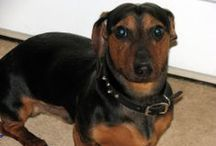 My Doggy: Doxie's / by Linda Jencsik