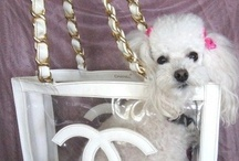 "Fifi Poodle in Paradise / Fifi ""Poodle in Paradise""  lives the ultimate glamorous life, strolling on Worth Ave. in Palm Beach, traveling in her vintage Chanel tote bag, modeling her extensive hat collection.  Follow Fifi as she reports on her quest for the finest designer and couture vintage."
