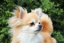 Chihuahuas in the wind