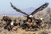 Eagles / Bald and Golden Eagles