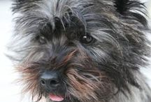 Cairns / Just love those brindle Cairn Terriers... looks a lot like our cairn Vili <3