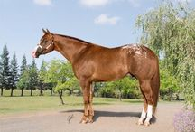 Horses / A collection of horses raised, trained or shown by Dal Porto Ranch.