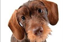 Ruwharige Teckel - wirehaired dachshund -teckel poil dur