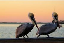 Island Wildlife / by Anna Maria Island Resorts