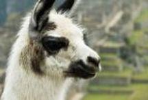 Llama Love / Pics of Cotopaxi's spirit animal.