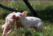 sweet pigs / pigs