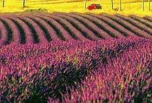 《 ~Lavender~ 》