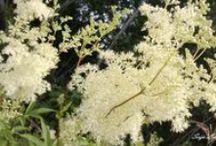 """My <3 """"herbarium"""" /  Omalla kameralla niityiltä ja tienvarsilta, kuin kouluaikojen kasvienkeruuta. <3"""