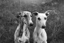My dogs, Tippi & Tinka. / Whippets