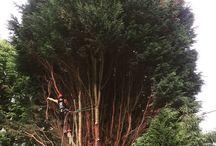 Brackendale Tree Care / Some pictures of our work. #trees #treesurgeons #arboriculture  #arboriculture #arborist #arblife #stihllife #godalmingtrees #guildfordtrees #treesurgery