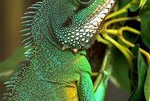 Chameleons & Iguanas