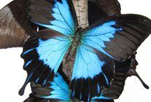 READY FOR MY CLOSE UP NOW! / Het prepareren van insecten en vlinders gaat gepaard met geduld en precisie. Het resultaat laat zich het veste zien van heel heel dichtbij.