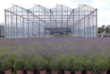 Lavendel / Alkemade Plants kweekt verschillende typen lavendel, een van de belangrijkste is Munstead.