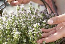 Thijm / Alkemade Plants kweekt vormgesnoeide thijmplanten op milieuvriendelijke wijze.