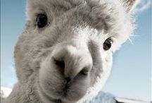 alpacas and other