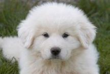 Great Pyrenees - My Baby