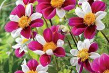 çiçek / yetiştirebileceğim çiçekler