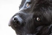 Gentle Giants / Big dogs are awesome! They also think they are the smallest dogs and we love them for it!