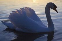 Swans / Please limit pins (or 'likes') to 10 - 15 pins per day - Same is requested for choosing boards to follow rather than clicking on 20, 50, 100 etc at one time.  If you want to follow that many, please simply follow me! Thank you. / by Connie Lee