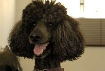 Poodle Poodle Poodle / Poodles in all forms