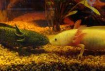 Axolotl :) / Awww i love these Axolotl :) i want one :D xxxxxx<3
