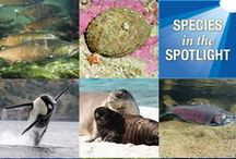"Species in the Spotlight #NOAASpotlightSpecies / NOAA Fisheries is undertaking a strategy that marshals resources on species for which immediate, targeted efforts are vital for stabilizing their populations and preventing their extinction. Of all the species we are responsible for, eight are at most risk of extinction in the near future.   See these ""Species in the Spotlight"": http://www.nmfs.noaa.gov/stories/2015/05/05_14_15species_in_the_spotlight.html"