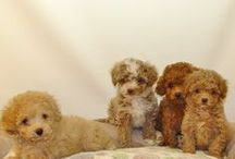 Puppies December 2015 / Puppies we have had during the month of December in the year 2015