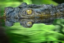 Alligators, Crocodiles, Caimen, and Gharials