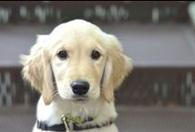 LionPaws Puppy Development Center / This is a partnership between The Lionheart School & paws4people™ allowing Lionheart students to participate in the socialization of future service dogs.