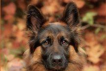Pastore tedesco - German Shepherd