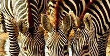 Safari  Look / Lopard print