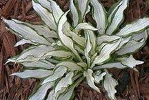 Hostas: Funkies Plants