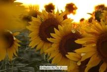 Sunflowering