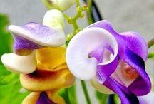 plantas ornamentales trepadoras,  / trepadoras, enredaderas, apoyantes, tapizantes,arbustivas, cubresuelos, destaque por floración o por follaje / by Iris Amorena