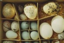 Eggs Layed Out...