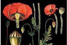 Flora & Fauna - Vintage / Vanhoja piirroksia kasveista, kukista - luonnonhistoriallisia kuvia