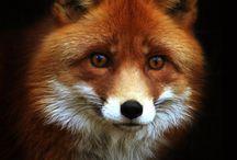 Fox love / A rókák......ha csak rá nézek az erdő egy részét látom ,gyönyörű állat ,ha akarja látod de ha nem oly csendben figyel hogy még az erdő se halja ......