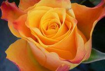 Mis rosas / Rosas