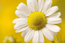 Girasoles / Mis flores
