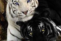 Animales salvajes / Felinos peligrosos